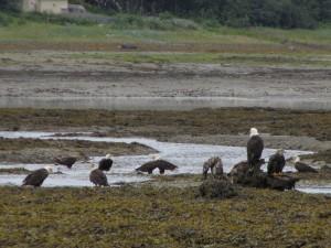 Eagles at spawning time, Juneau