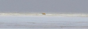A polar bear out on the sea ice at Point Lonely where I spent my summer working.