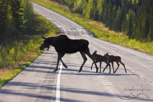 Moose and calves, courtesy of Mike Cross